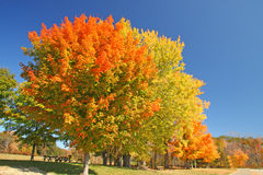 Sugar Maple trees in fall Stock Photography