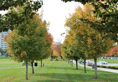 Sugar maple trees. Two rows of sugar maple trees showing fall colors as seen in the memorial park Kansas City Royalty Free Stock Images