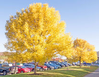 Sugar maple trees. In yellow bloom, Acer Saccharum, Mount Snow Ski Resort, West Dover Vermont parking lot Stock Photo