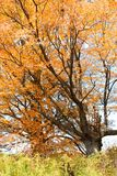 Sugar maples with brilliant orange leaves Royalty Free Stock Photo