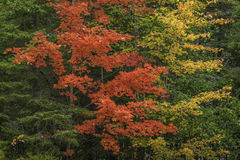 Sugar Maples im Herbst - Ontario, Kanada Stockfotos