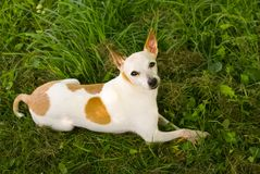 Chihuahua/Jack Russell Terrier Dog Mix in the Grass. Sugar, a nervous but lovable jack russell terrier/chihuahua mix, reposing in her princess-like way in the stock image