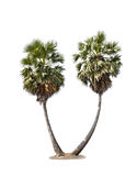Sugar palm. Two palm trees on a white background royalty free stock photography