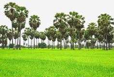Sugar palm Stock Photos