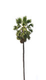 Sugar palm. Trees on a white background royalty free stock photography