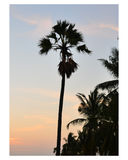 The sugar palm. On blue background Stock Images