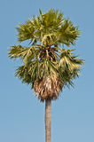 Sugar Palm with blue sky Stock Photo