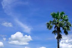 Sugar palm on blue sky and cloud. Background stock photo