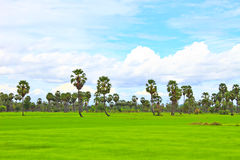 Sugar Palm-boom in het padieveld Royalty-vrije Stock Afbeelding