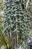Sugar palm, candy palm, palm bunch Stock Photo