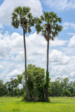 Sugar palm, clouds and sky in the background. Sugar, tree, field, thailand Royalty Free Stock Images