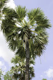 Sugar palm Stock Image