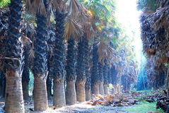 Sugar palm field Royalty Free Stock Image