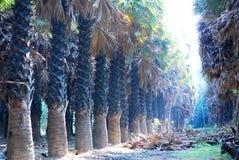 Sugar palm field Royalty Free Stock Image
