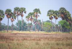 Sugar palm field Stock Photography