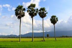 Sugar palm Royalty Free Stock Photography