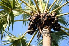 Sugar Palm Fruit Foto de archivo
