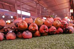 Sugar Palm fruit, a fuit from tropical forest plant. Sugar Palm fruit, Sugar Palm fruit, a fuit from tropical forest plant, edible as fresh fruit and dessert royalty free stock photo