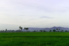 Sugar palm. Landscape sugar palm tree on rice fields Stock Images