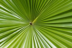 Sugar palm leaf Stock Photos