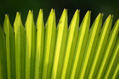 Sugar palm leaf Royalty Free Stock Photo