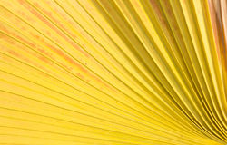 Sugar palm leaf background. Royalty Free Stock Images