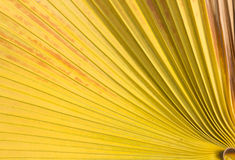Sugar palm leaf background. Royalty Free Stock Photography