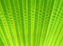 Sugar palm leaf Stock Photos