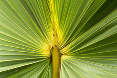 Sugar palm leaf texture Stock Images