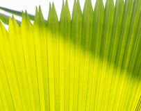 Sugar palm leaves Royalty Free Stock Photography