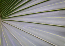 Sugar palm leaves texture Royalty Free Stock Photo