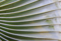 Sugar palm leaves texture Stock Photos