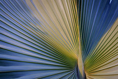 Sugar palm leaves texture Royalty Free Stock Images