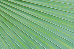 Sugar palm leaves Stock Photography
