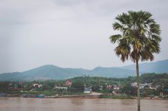 The sugar palm is near the Mekong River. royalty free stock image