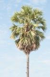 Sugar palm Royalty Free Stock Image
