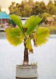 Sugar palm in pot  over water Royalty Free Stock Photography