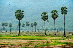 Sugar palm  in rice field Royalty Free Stock Photography