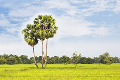 Sugar palm with rice field Stock Image