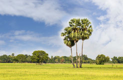 Sugar palm with rice field Royalty Free Stock Image