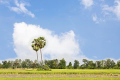 Sugar palm with rice field Royalty Free Stock Images
