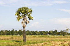 Sugar palm with rice field Royalty Free Stock Photo