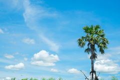 Sugar palm with rice field blue sky stock image