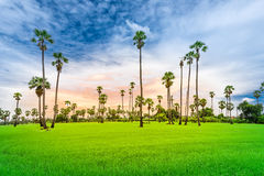 Sugar palm on the rice field Royalty Free Stock Photo