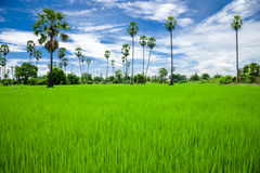 Sugar palm on the rice field Stock Photo