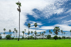 Sugar palm on the rice field Royalty Free Stock Photography