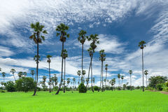 Sugar palm on the rice field Stock Images