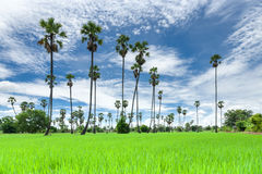 Sugar palm on the rice field Royalty Free Stock Photos