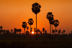 Sugar palm and rice filed during sunset Royalty Free Stock Photo