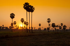 Sugar palm and rice filed during sunset Stock Images
